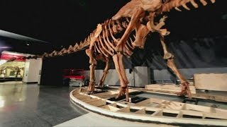 Massive dinosaur skeleton spills out of NY museum